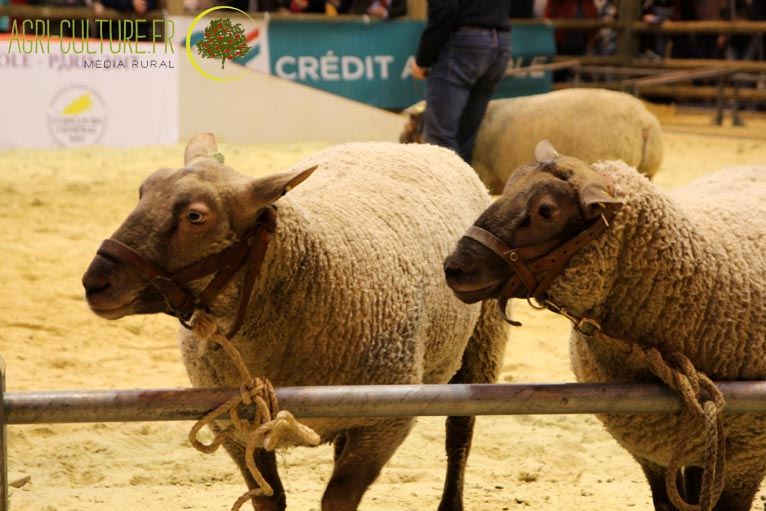 race ovines mouton roussin sia