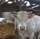 Vaches charolaises, export de bétail vers l'Iran