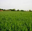 Fertilisation du blé en Normandie stade dernière feuille étalée
