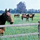chevaux au paturage dans une prairie fourragere