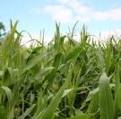 Maïs fourrage : des maturités atteintes début septembre en Normandie