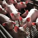 Prix du porc : à l'aube d'une nouvelle crise ?