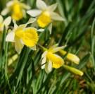 Clères : Fête de la Jonquille et marché de printemps