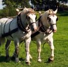 Championnat de France du cheval Percheron