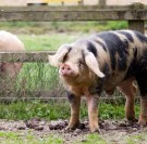 Le Porc de Bayeux : symbole 2019 de la défense de la biodiversité domestique