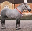 Championnat de France du cheval Percheron au Haras du Pin