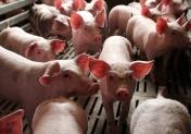 Plérin marché du porc breton porcelets