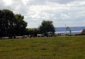vaches normandes pont de normandie colbosc
