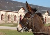 Le Haras du Pin accueille le concours national de l'Âne normand