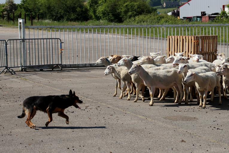 S'informer sur le dressage des chiens de troupeaux | Agri